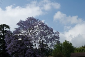 Fading Jacaranda, but what a sky