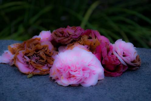 Camelias left in memory